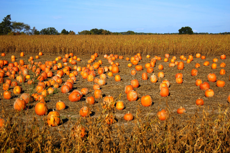 Pumpkins in field stock photography