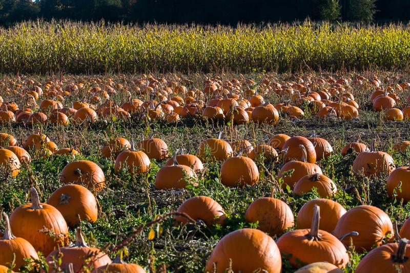 Pumpkins in a field royalty free stock images