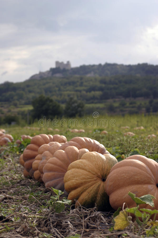 Pumpkins in a field near Lacoste village in the Luberon France. Marquis de Sade`s castle in view at the very top of Lacoste stock photo