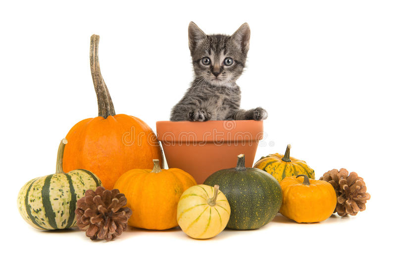 Pumpkins and a flower pot with a tabby baby cat royalty free stock images