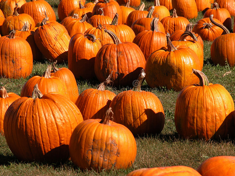 Download Pumpkins galore stock photo. Image of pumpkins, lantern - 2683160