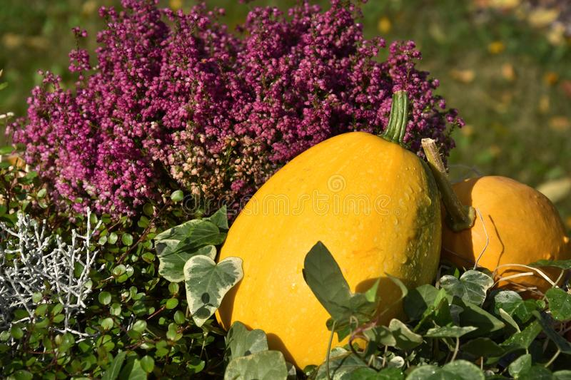 Decoration with pumpkin and heather stock images royalty free stock photos