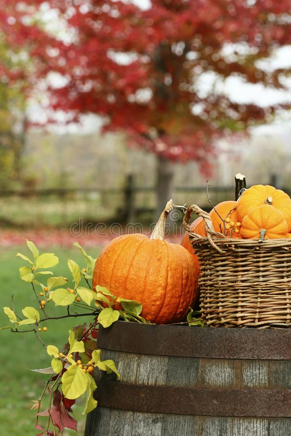Pumpkins and gourds for autumn harvest stock image