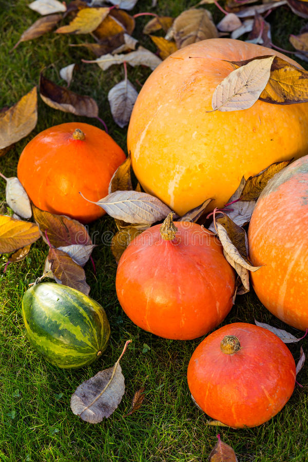 Pumpkins on the grass with leaves stock image