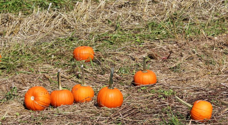 Pumpkins in the grass at pumpkin patch stock photo