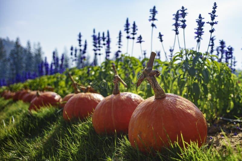 Pumpkins In The Grass At A Pumpkin Patch. Stock Photo