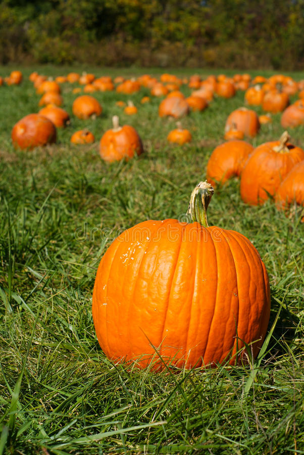 Pumpkins on green grass field in pumpkin patch stock image