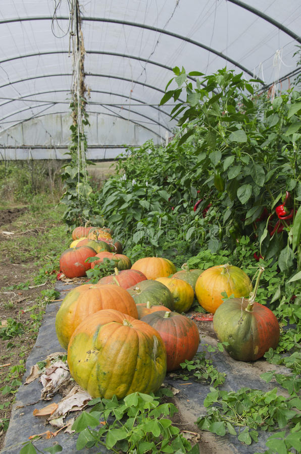 Pumpkins in a greenhouse. Pumpkins in a rustic greenhouse stock photography