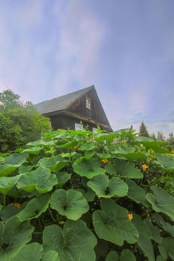 Pumpkins with large leaves growing in a garden with old house on background stock photography