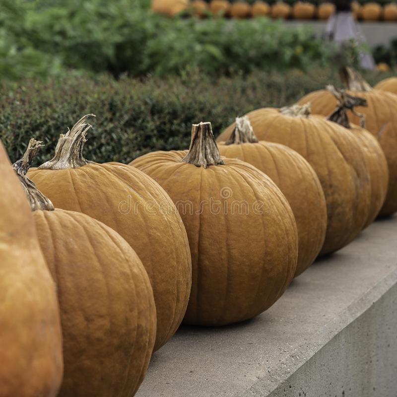 Pumpkins lined up on a Wall. Surrounded with green foliage stock images