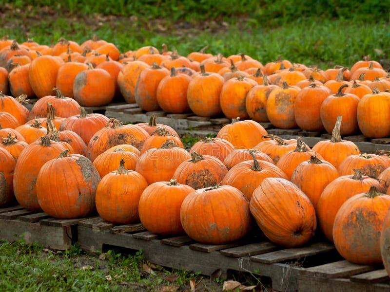 Download Pumpkins on pallets stock image. Image of seasons, crop - 24206711