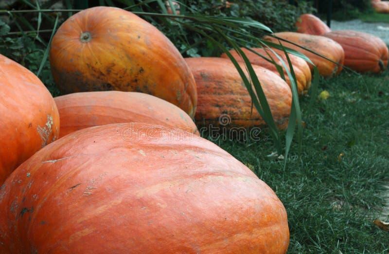 Pumpkins Prepared For Halloween Stock Photography