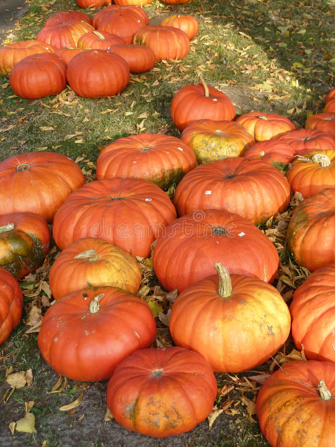 Download Pumpkins for sale stock image. Image of leaves, texture - 11341747