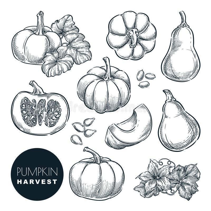 Pumpkins sketch vector illustration. Autumn gourd harvest. Hand drawn agriculture, farm isolated design elements vector illustration