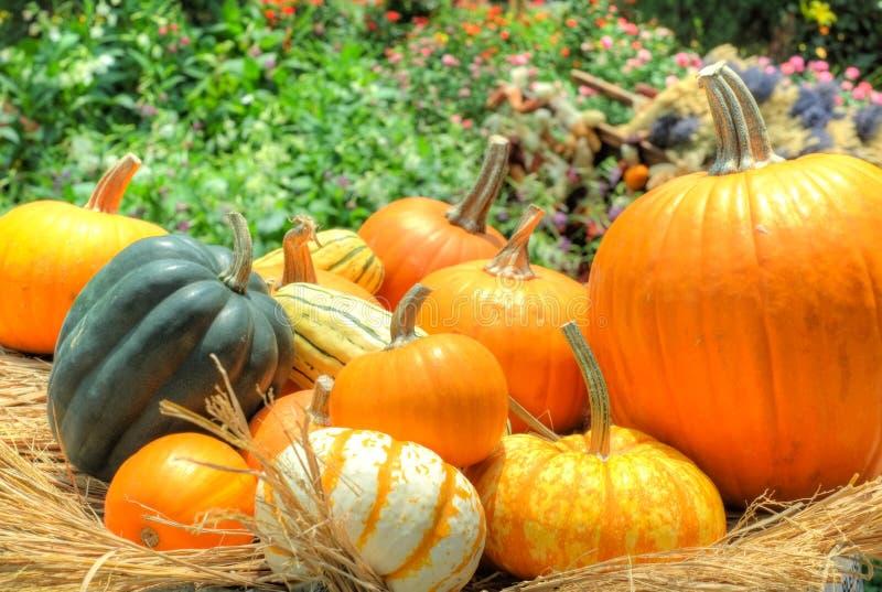 Pumpkins and squash stock image