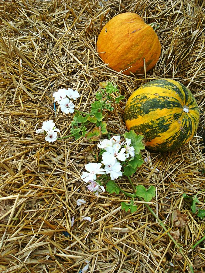 Download Pumpkins on straw stock image. Image of vegetables, yellow - 26896187