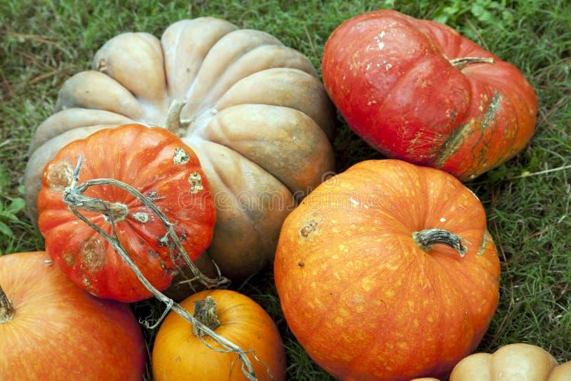 Download Pumpkins For Thanksgiving Halloween Stock Image - Image: 11365473