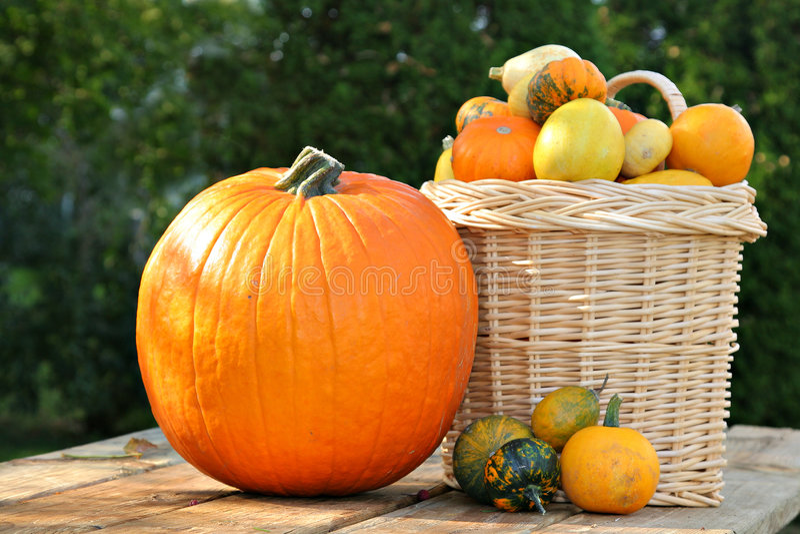 Download Pumpkins Under Afternoon Sunlight Stock Photo - Image: 6340346