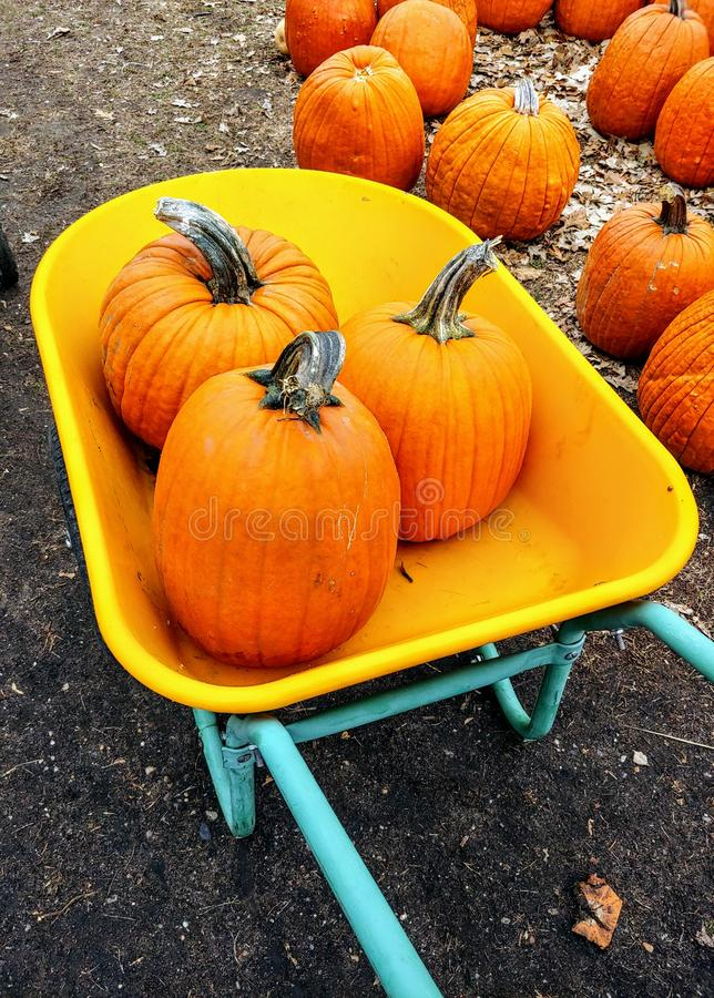 Pumpkins in a yellow and blue wheelbarrow at a pumpkin patch. royalty free stock images