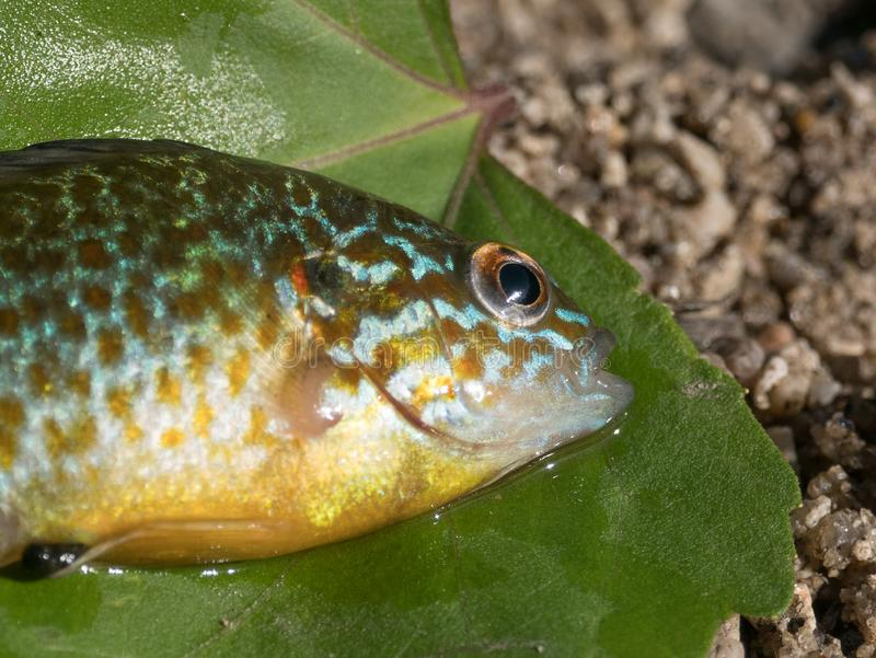 Pumpkinseed fish / sunfish Lepomis gibbosus, also known as pond perch. Close up on head and eye. Fish is on a green leaf stock photos