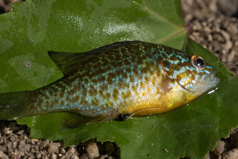 Pumpkinseed fish / sunfish Lepomis gibbosus close up, also known as pond perch. Fish is on a green leaf stock photography