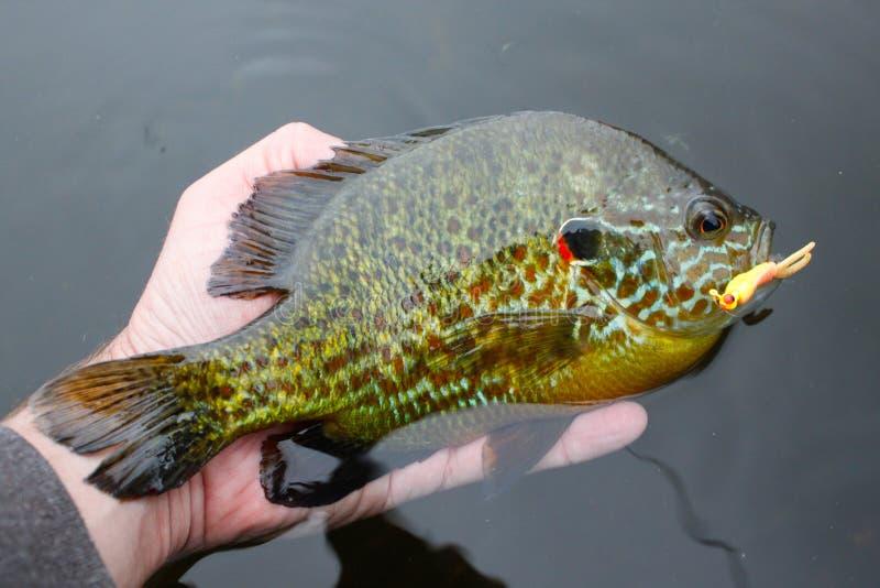 Pumpkinseed fisk som fångas på drag royaltyfri fotografi