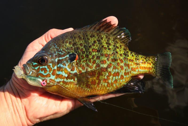 Pumpkinseed klumpfiskPanfish som rymms av manfiske royaltyfri foto