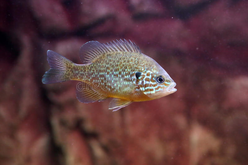 A pumpkinseed sunfish or common sunfish stock images