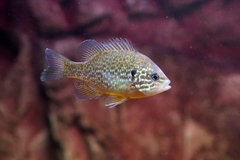 A pumpkinseed sunfish of gemeenschappelijke sunfish stock afbeeldingen