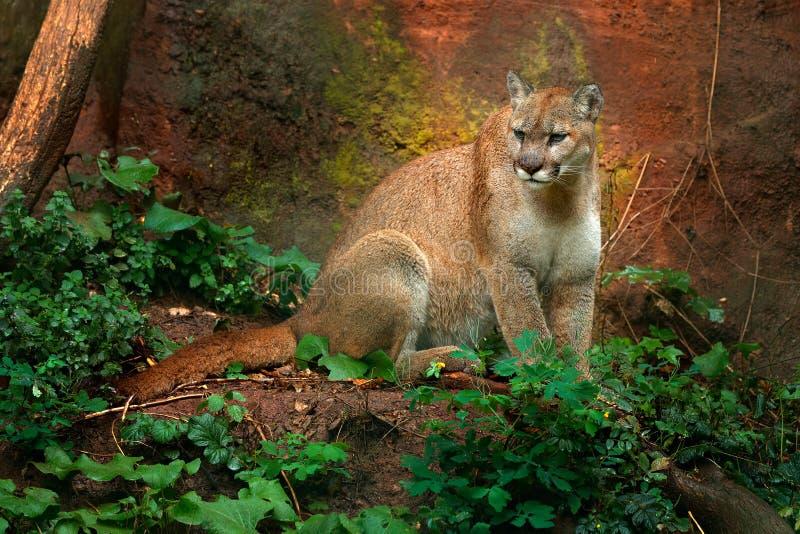 Pumy concolor, znać jako halny lew, puma, pantera w zielonej roślinności, Meksyk Przyrody scena od natury Niebezpieczeństwo kugua fotografia royalty free