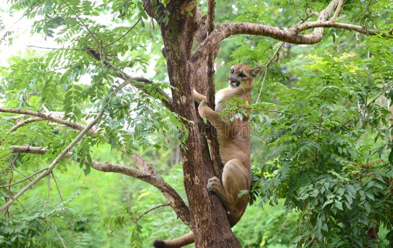 Pumy pięcie na drzewie zdjęcia royalty free