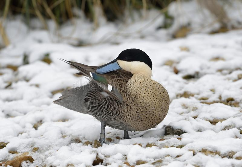 Puna Teal. Anas versicolor puna Preaning in Snow stock images