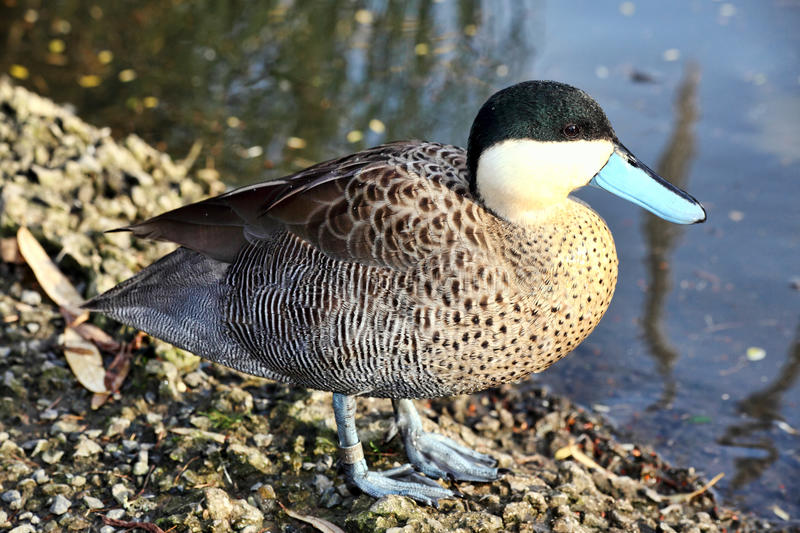 Puna Teal. Anus Versicolor puna duck which is found in South American countries royalty free stock photos