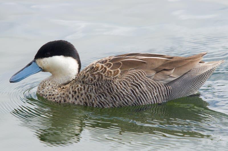 Puna Teal Duck stock photo
