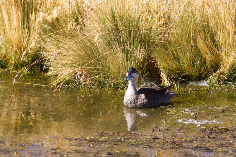 Puna teal at the Vegas de Putana wetland stock photo
