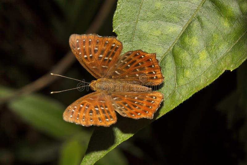 Punchinello, Zemeros sp, Riodinidae, Jampue小山,特里普拉邦 免版税库存图片