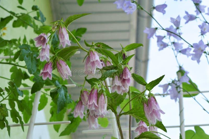 Punctata della campanula Bei fiori del bellflower macchiato nell'inverdimento del balcone fotografia stock