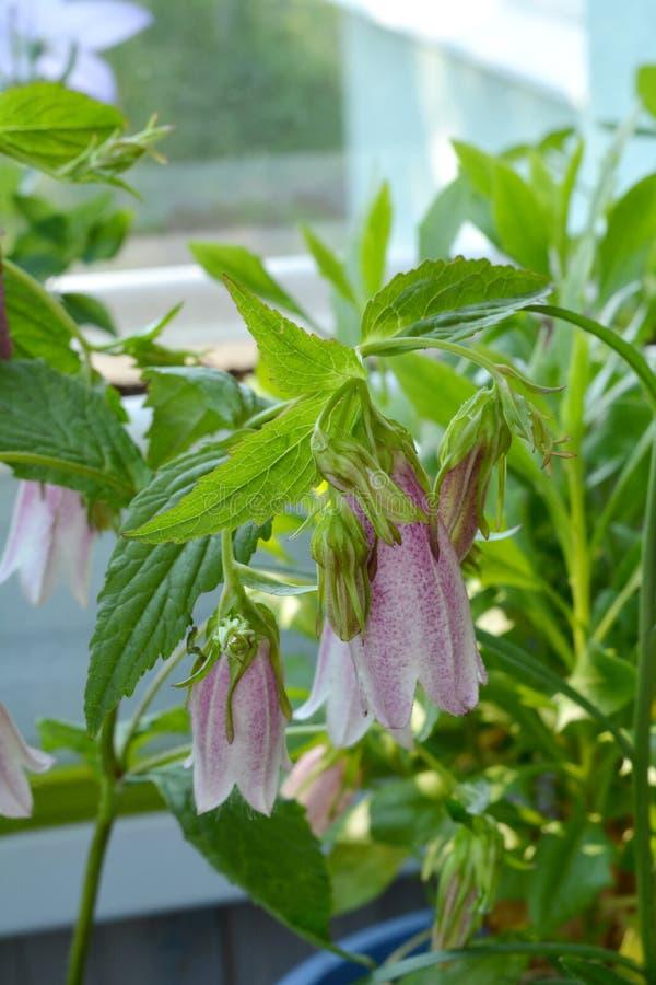 Punctata della campanula Bello bellflower macchiato nell'inverdimento del balcone immagine stock libera da diritti