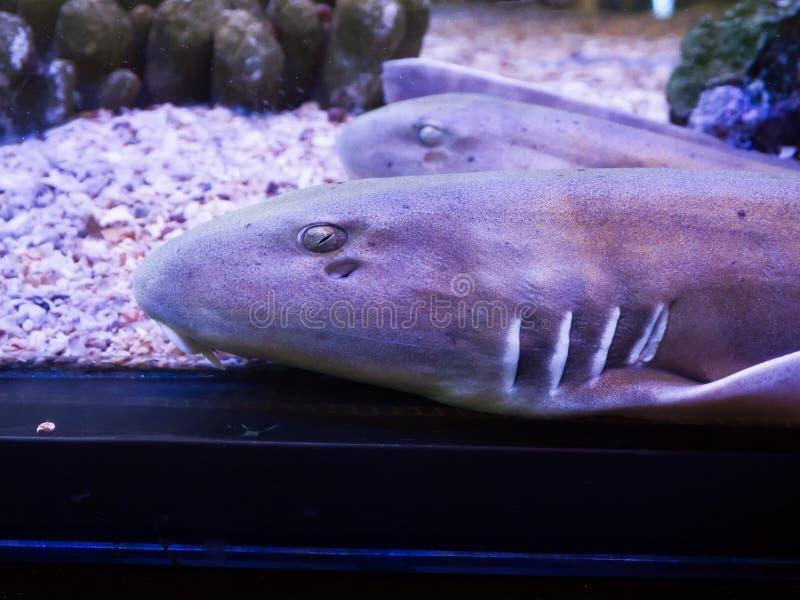 Punctatum de bambu de Chiloscyllium do tubarão de Brownbanded em um aquário no fim acima fotografia de stock