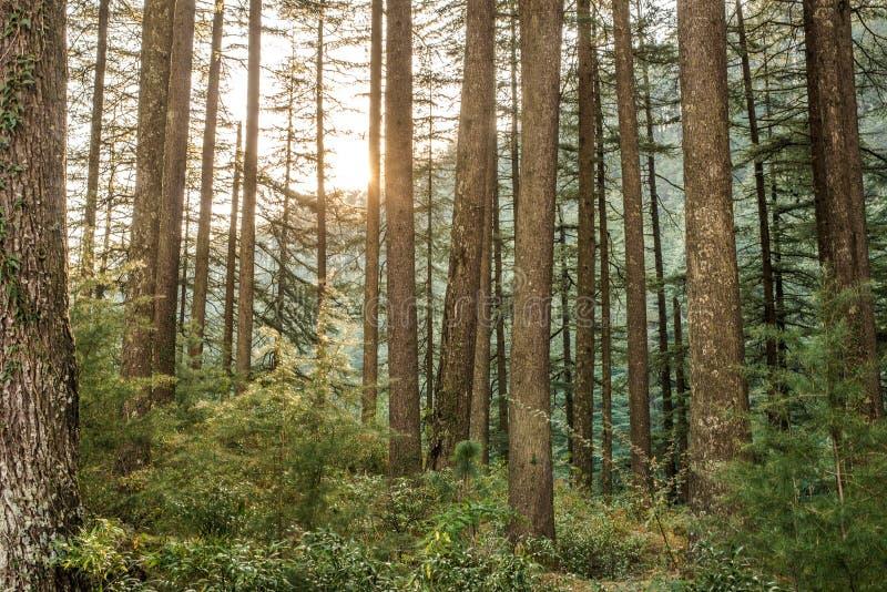 Pundrik rishi湖- Deodar树森林在喜马拉雅山 免版税库存图片