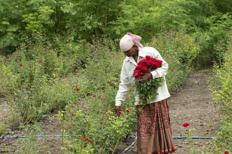 PUNE MAHARASHTRA, Juni 2018, kvinnaarbetare som plockar rosa blommor i fältet arkivbild