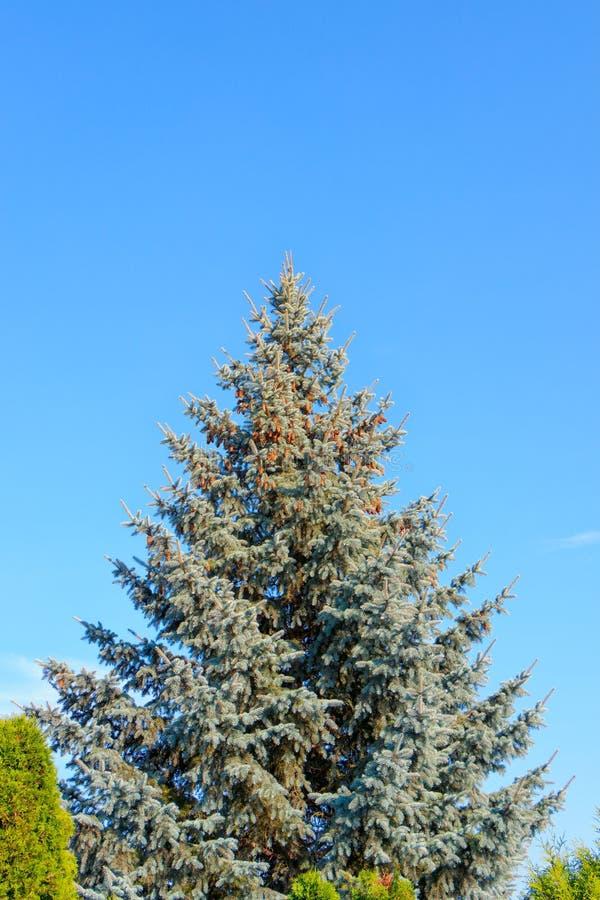 Pungens azuis do Picea do abeto vermelho que estão apenas fotografia de stock royalty free