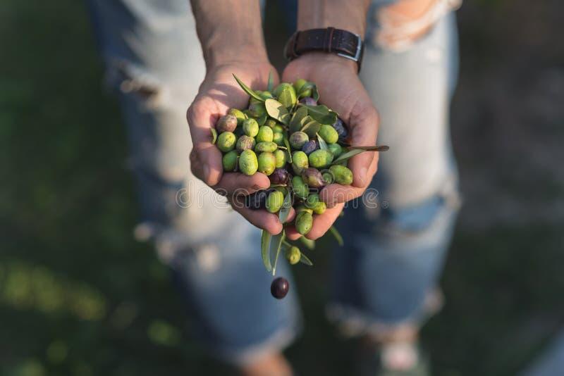 Punhado das azeitonas, Taggiasca ou Cailletier, cultivar crescido primeiramente em França do sul perto de agradável e no Riviera  imagem de stock