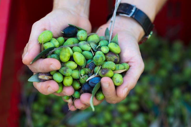 Punhado das azeitonas, Taggiasca ou Cailletier, cultivar crescido primeiramente em França do sul perto de agradável e no Riviera  foto de stock