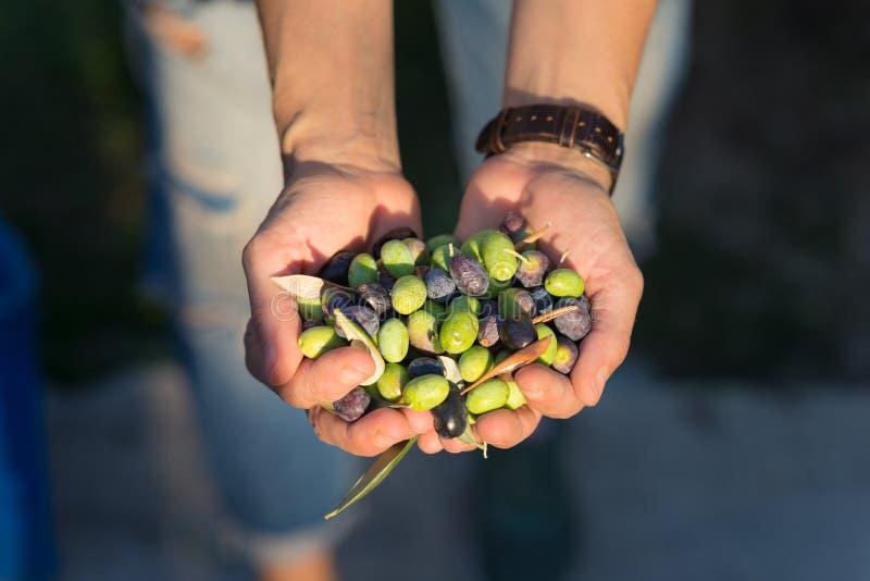 Punhado das azeitonas, Taggiasca ou Cailletier, cultivar crescido primeiramente em França do sul perto de agradável e no Riviera  fotos de stock royalty free
