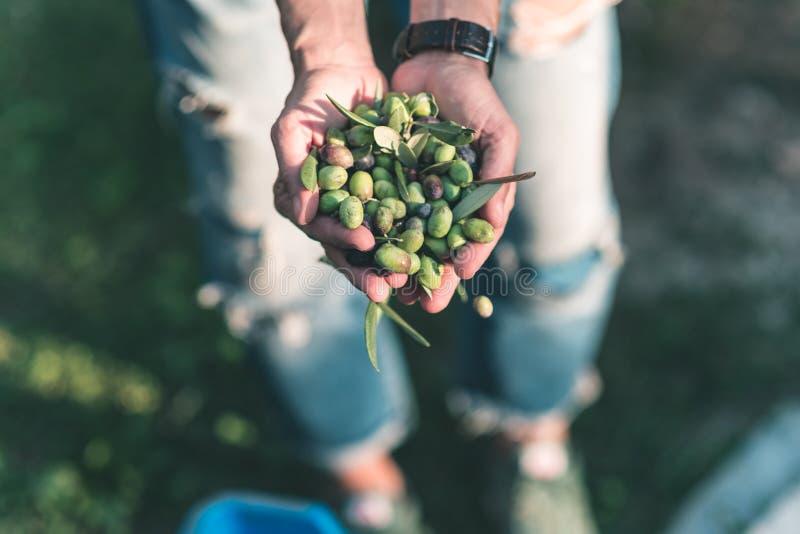 Punhado das azeitonas, Taggiasca ou Cailletier, cultivar crescido primeiramente em França do sul perto de agradável e no Riviera  imagens de stock royalty free