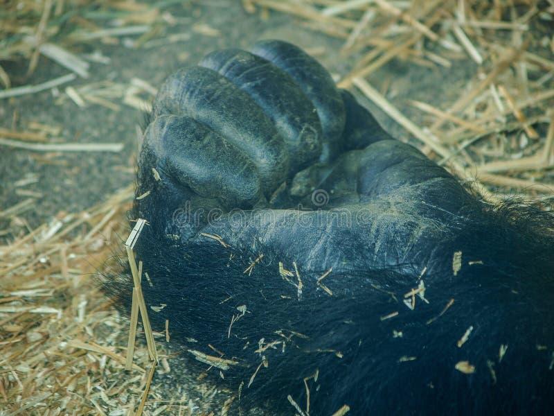 Punho de um gorila de planície ocidental do sono imagens de stock royalty free