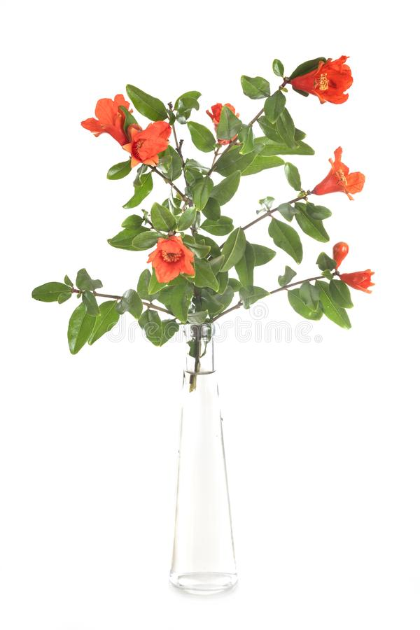 Punica flower in studio. Punica flower in front of white background royalty free stock photos