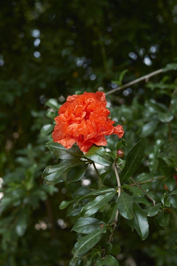 Punica granatum in bloom. Orange flowers of Punica granatum stock photos