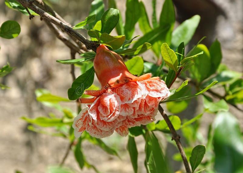 Punica granatum flower.Close-up shot. Punica granatum flower.Macro shot stock image
